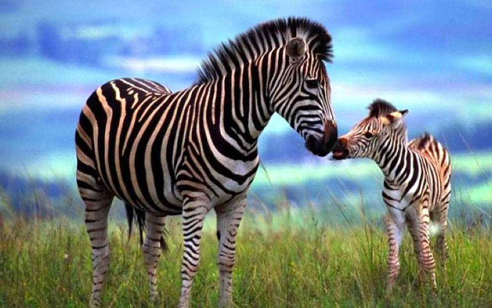 Zebra-baby-giving-mom-a-kiss