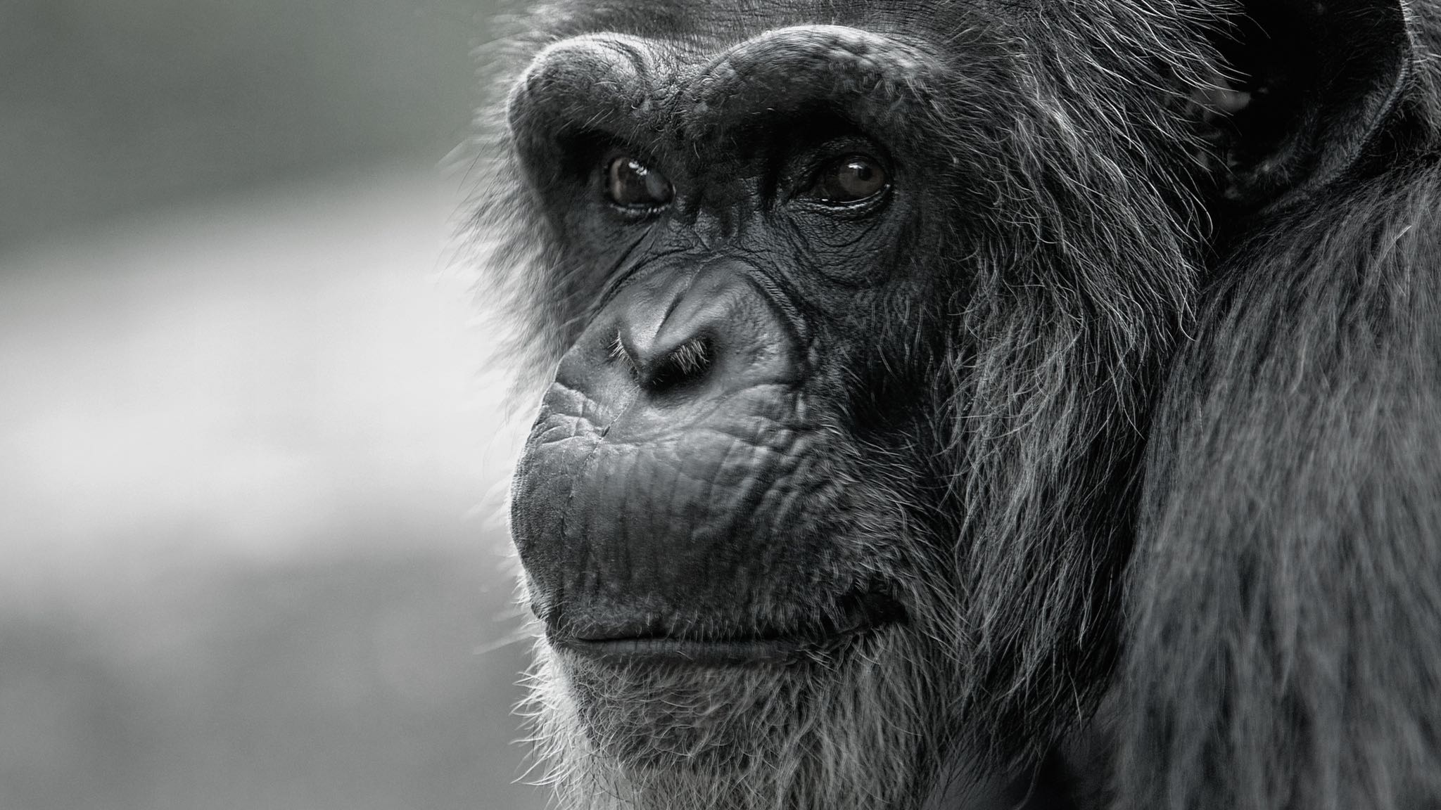 bonobos and chimps The dna difference with gorillas, another of the african apes, is about 16% most  importantly, chimpanzees, bonobos, and humans all show this same amount.