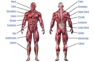 muscle-anatomy-chart
