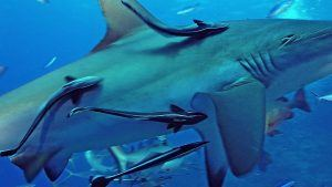 symbiosis-between-remoras-sharks_8644e39f4f71a92a